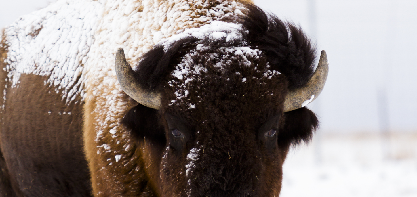 bison-in-snow1